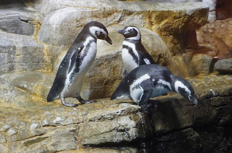 Penguins at the Shedd Aquarium, Chicago.