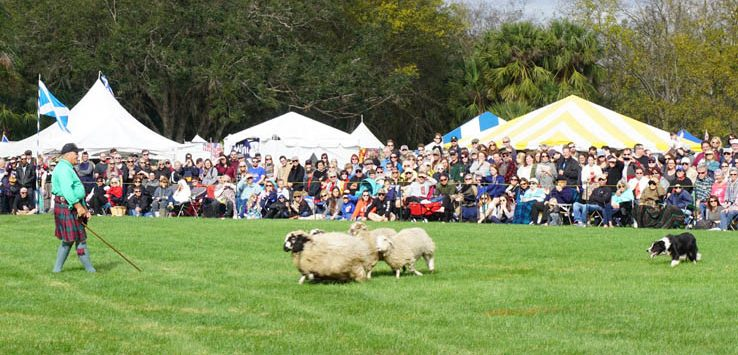 Border Collie herding sheep at the Central Florida Scottish Highland Games 2018.