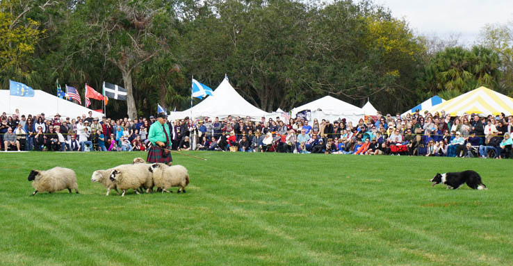 Sheep herding Border Collies, Central Florida Scottish Highland Games.
