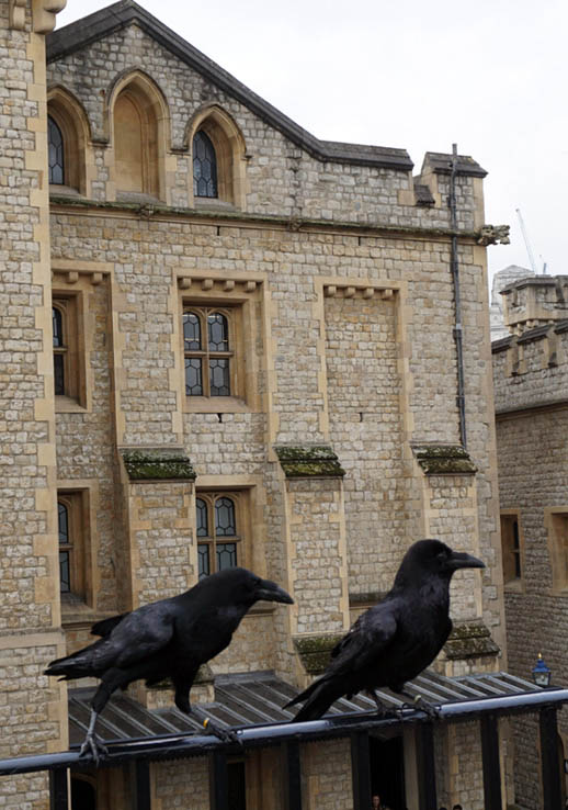 Two of the seven ravens that live at the Tower of London